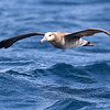 Black-footed Albatross by guide Chris Benesh