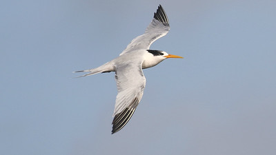 Elegant Tern, by guide Chris Benesh
