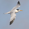 Elegant Tern by guide Chris Benesh