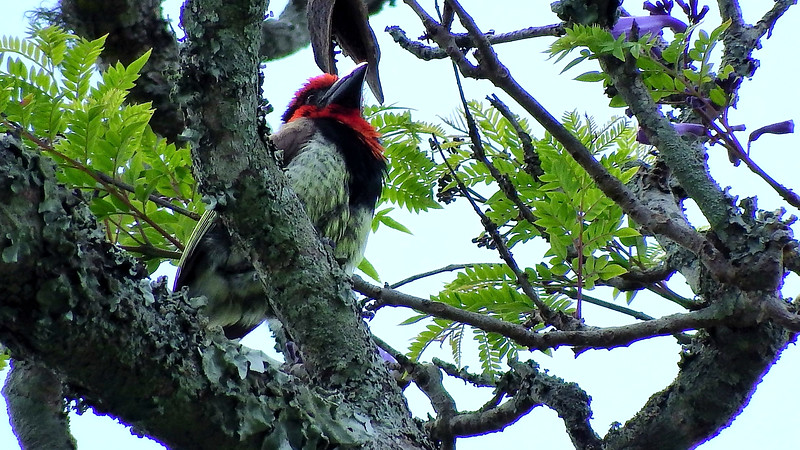 Black-collared Barbet, by participant Sally Marrone