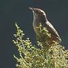 Cape Grassbird by participant Sally Marrone