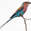 Lilac-breasted Roller, by participant Sally Marrone