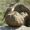 A Ground Woodpecker blends in, by participant David Becher