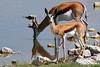 Springbok by participant Paul Thomas