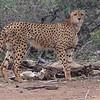 Cheetah, by participant David Becher