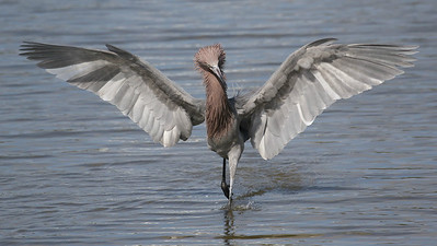 A Reddish Egret in full fan. Photo by guide Chris Benesh.