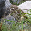 Burrowing Owl, photographed by guide Chris Benesh.