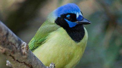 Green Jay, photographed by participant Herb Fechter.
