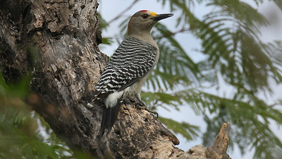 One of the local specialties, Golden-fronted Woodpecker. Photo by guide Chris Benesh.