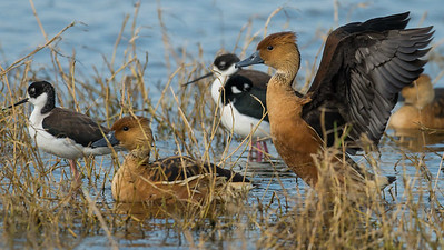 Fulvous Whistling-Ducks with a few stilts, photographed by participant Herb Fechter.