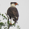 Crested Caracara is among the special local raptors. Photo by participant Karen Lintala.