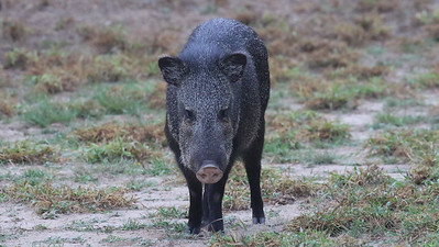 There some fun new mammals to see: Collared Peccary, by guide Chris Benesh.