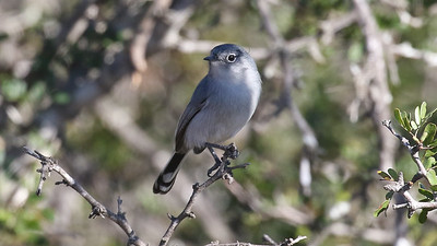 Black-tailed Gnatcatcher, photographed by guide Chris Benesh.