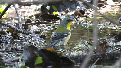 A bathing Tropical Parula still looks sharp. Photo by guide Chris Benesh.
