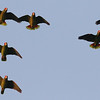 White-fronted Parrots in late afternoon, by guide Chris Benesh.