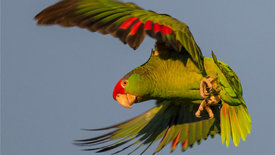 Red-crowned Parrot, photographed by participant Herb Fechter.