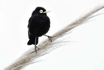 A fine portrait of the unusual Spectacled Tyrant by participant Doug Clarke