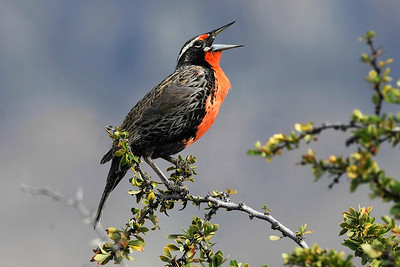 Long-tailed Meadowlark by participant Doug Clarke