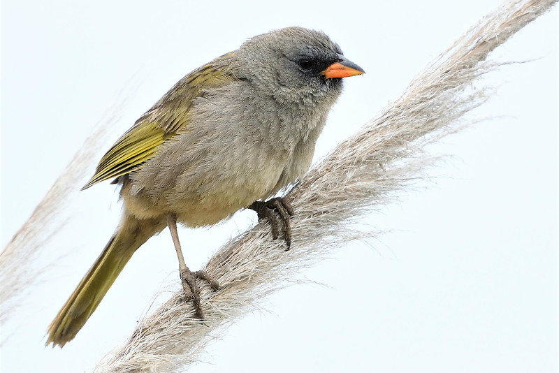 Up close: Great Pampa-Finch by participant Doug Clarke