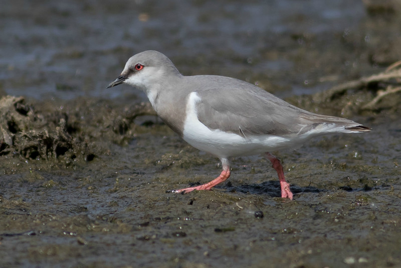 The one-of-a-kind Magellanic Plover by guide Tom Johnson
