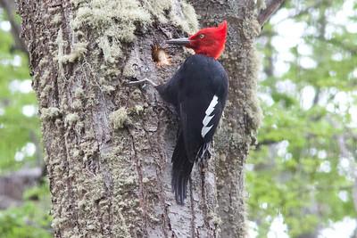 A magnificent male Magellanic Woodpecker by participant Ken Havard