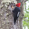 A magnificent male Magellanic Woodpecker by participant Ken Havard