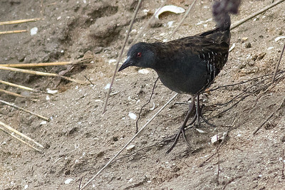 Dot-winged Crake...out in the open! Photo by guide Tom Johnson.