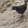 Dot-winged Crake...out in the open! by guide Tom Johnson