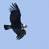 A magnificent Andean Condor by guide Tom Johnson