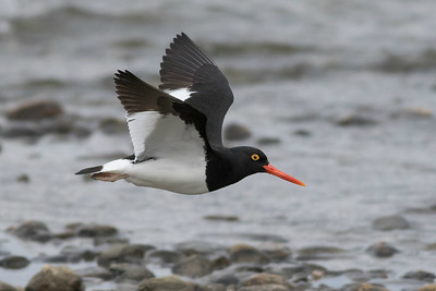 Variation on a theme: Magellanic Oystercatcher by guide Tom Johnson