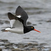 Magellanic Oystercatcher by guide Tom Johnson