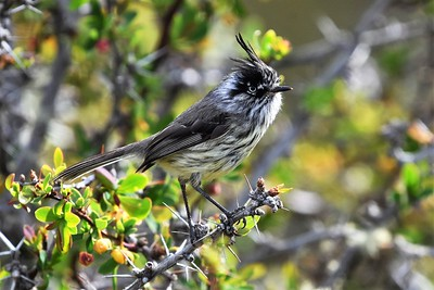 Tufted Tit-Tyrant by participant Doug Clarke
