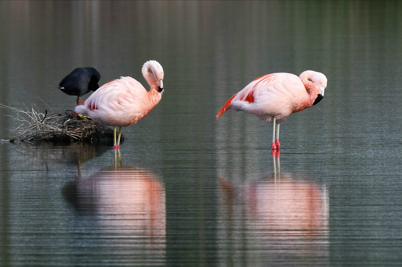 """Check out those red """"knees"""": Chilean Flamingo by participant Doug Clarke"""