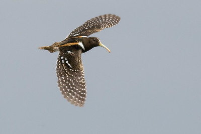 A fantastic South American Painted-snipe by guide Tom Johnson
