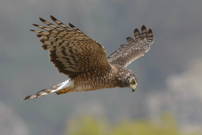 A female Cinereous Harrier by participant Ken Havard