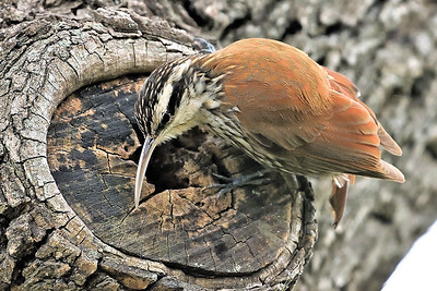 Narrow-billed Woodcreeper by participant Doug Clarke