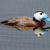 The endangered White-headed Duck, by participant Chuck Holliday