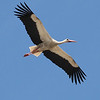 An elegant White Stork, by guide Chris Benesh