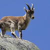 Spanish Ibex, by guide Chris Benesh