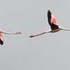Greater Flamingos, by guide Chris Benesh