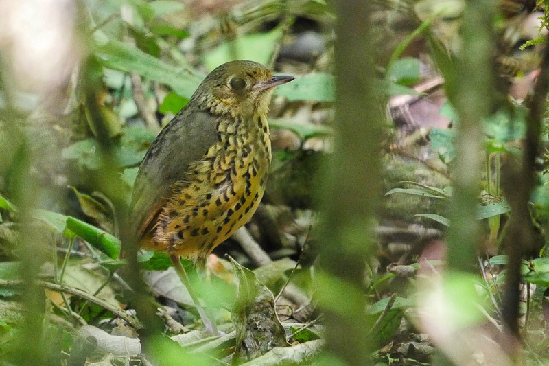 Speckle-breasted Antpitta by guide Bret Whitney