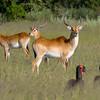 Lechwe and Southern Ground-Hornbills in the Okavango, by guide Joe Grosel
