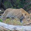 Leopard in Kruger National Park, by guide Joe Grosel