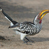 Southern Yellow-billed Hornbill in Kruger, by guide Joe Grosel