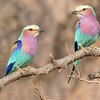 Lilac-breasted Rollers in Kruger, by guide Joe Grosel