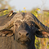 Cape Buffalo and Red-billed Oxpecker in Kruger, by guide Joe Grosel
