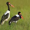 Saddle-billed Storks in the Okavango, by guide Joe Grosel
