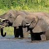 African Elephants in the Chobe River, Botswana, by guide Joe Grosel