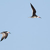 Black Skimmers along the beach, by guide Tom Johnson