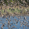 The shorebird spectacle at Heiserville, by guide Doug Gochfeld